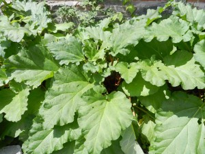 Part of the rhubarb patch.  Garden geeks take note: that's a Virgin's Bower Clematis growing behind -- and up the wall.