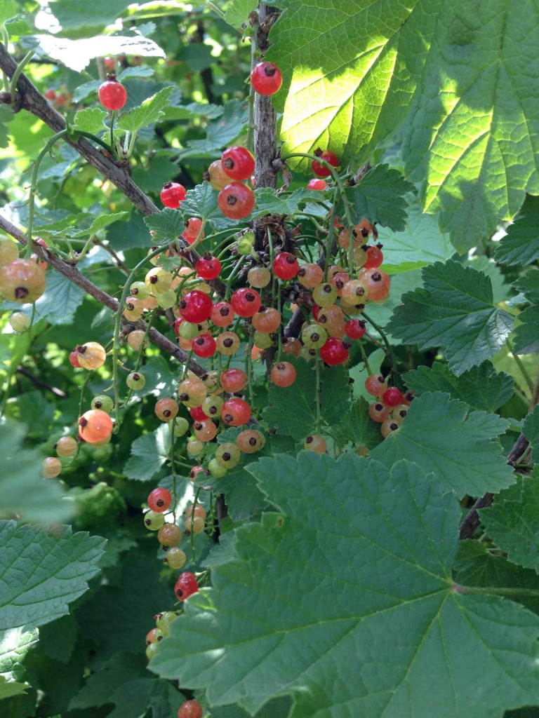 I picked a few for kicks, but the currants are really going to take off in the next few days.