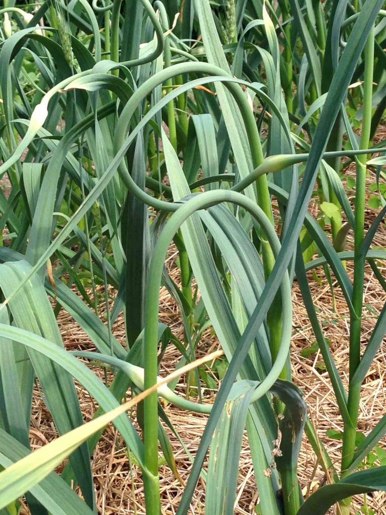 Garlic scapes are the tender stems and flower buds of the garlic plant. Taste-wise, they're a cross between a green onion and garlic.  Eat it right of the plant?  Darned right I did.
